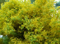 sanziene rosia montana