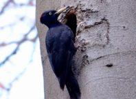 ciocanitoare neagra